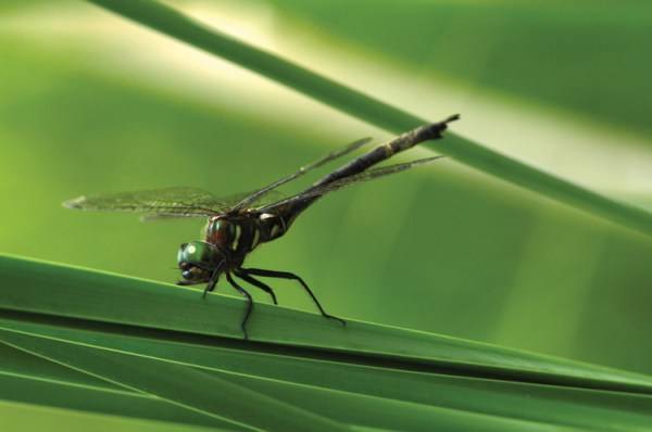 """""""hine's emerald dragonfly"""""""