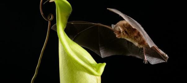 """bat carnivorous pitcher plant"""