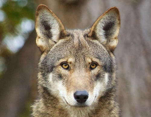 """""""red wolf"""""""