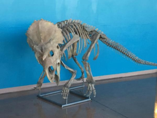 """new species of montana dinosaur put on display"""