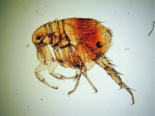 """""""flea found infected with 20 million year old plague"""""""