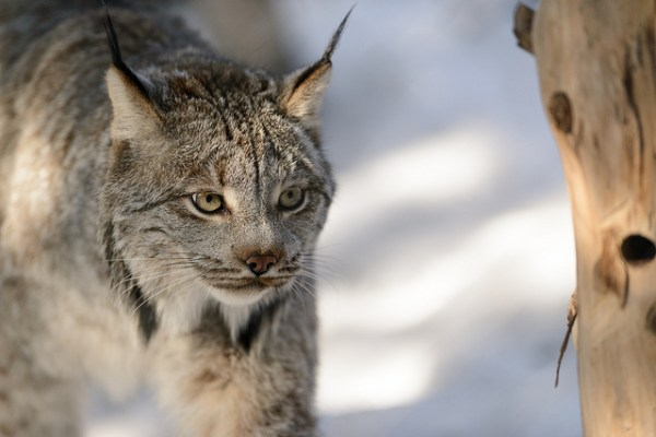 """""""canada lynx in main needs a helping hand"""""""