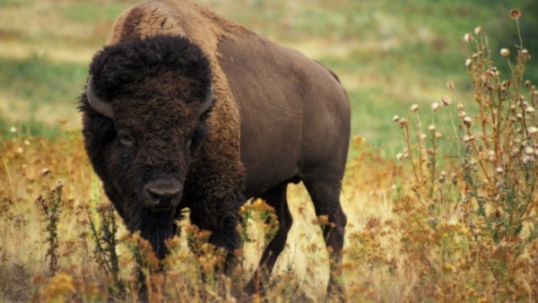 """""""herd of bison released in minneopa state park"""""""