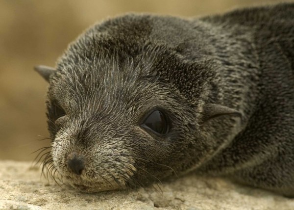"""""""guadalupe fur seals found in a number of 80 in california"""""""