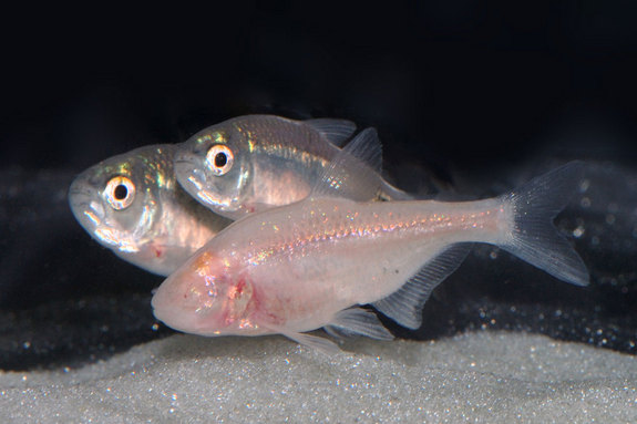 Mexican Cavefish Traded Their Eyes For Energy