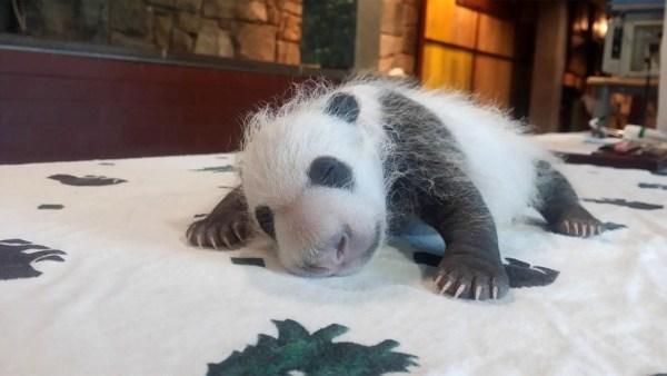 """""""Giant Panda cub"""""""