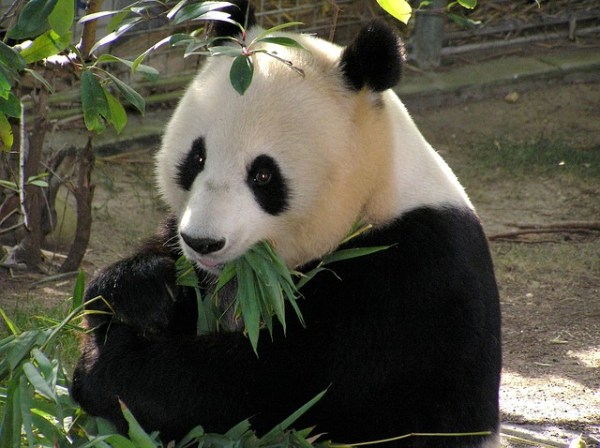 Panda Protections Save 100 Other Species