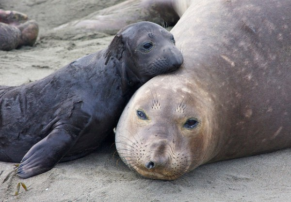 """elephant seals bring a spike of mercury in coastal waters"""