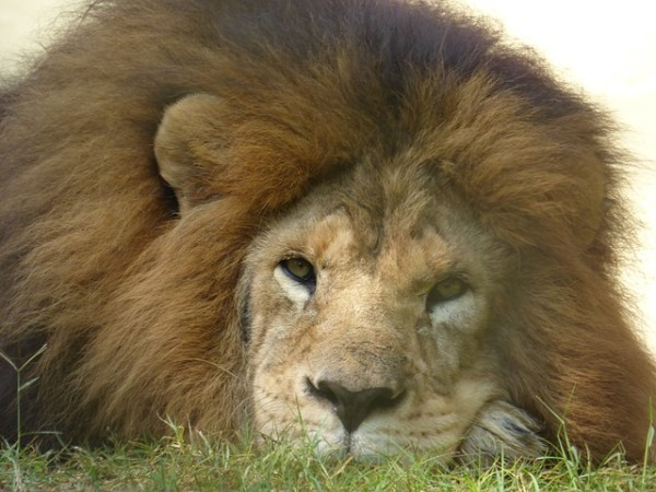 Study Explains Absence Of Lions