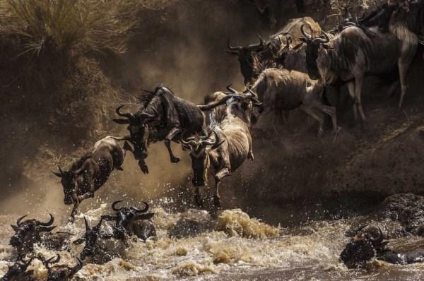 """wildebeest broadcasted during serengeti migration"""