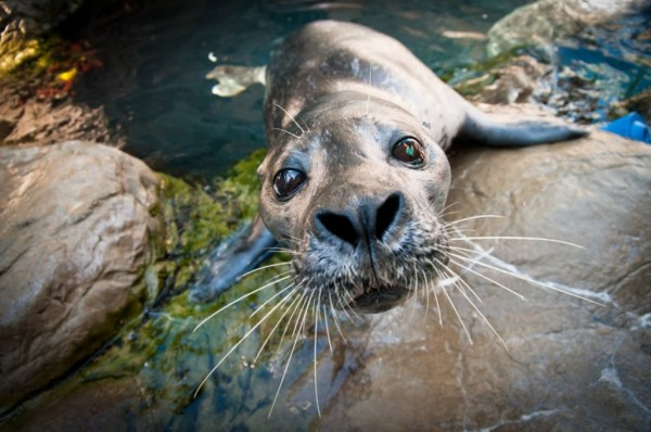 """seal whiskers help them find and catch prey"""