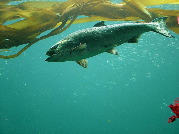 """""""chinook salmon numbers dropped"""""""
