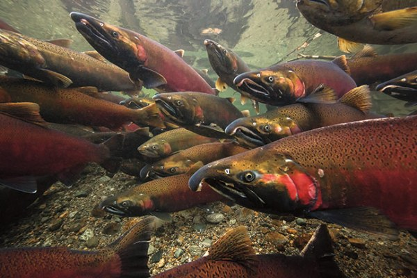 """""""coho salmon polluted by urban runoff"""""""