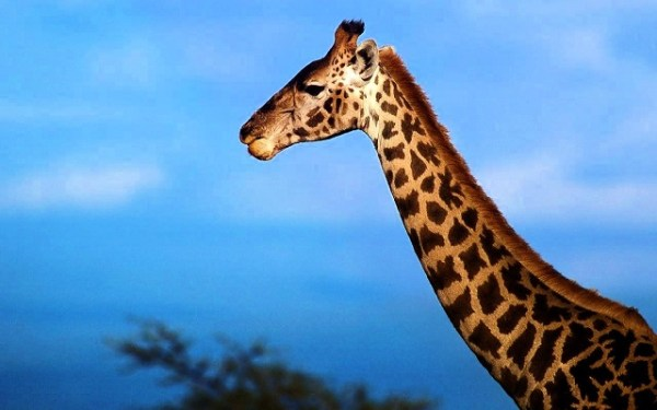 """""""the mystery behind the giraffe's neck is solved"""""""