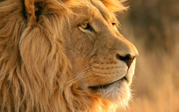 """lions decline in population"""
