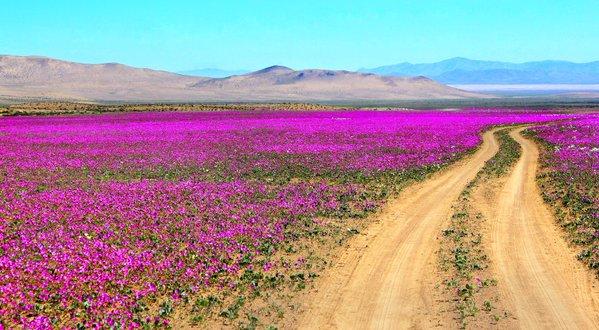 """atacama desert flowers"""