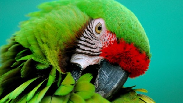 """the military and great green macaw are on the endangered species act"""