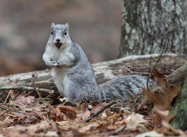 """""""delmarva fox squirrel"""""""