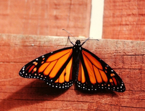 """""""monarch butterfly population grows 4 times"""""""