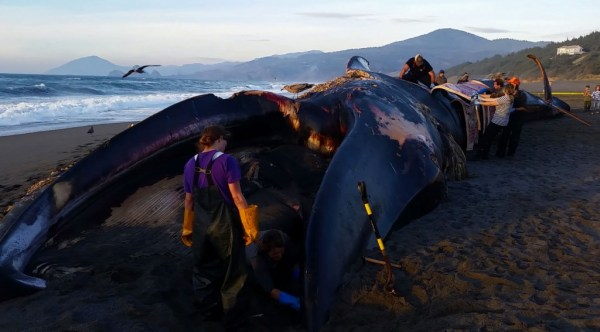 """""""beached blue whale in oregon"""""""
