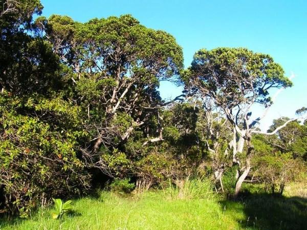 """Ohia trees endangered"""