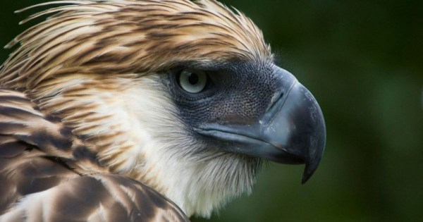 """""""hope for the philippine eagle"""""""