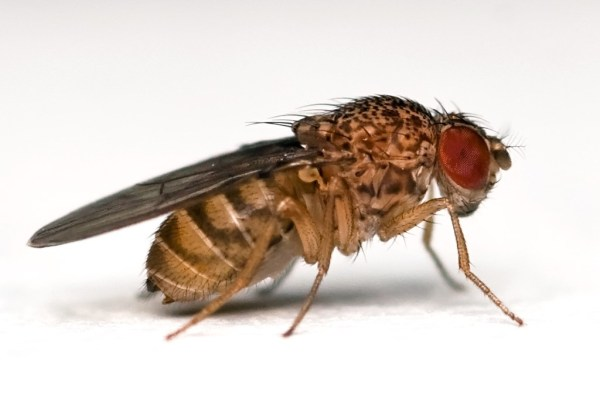 """drosophila melanogaster"""