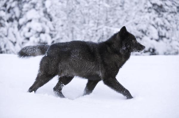 """""""not endangered wolf"""""""