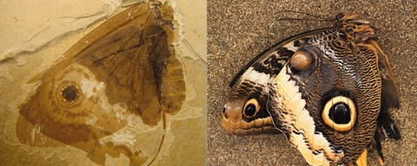 The 40 million year old butterfly vs the modern butterfly.