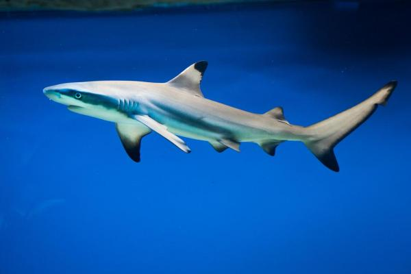 """blacktip shark"""