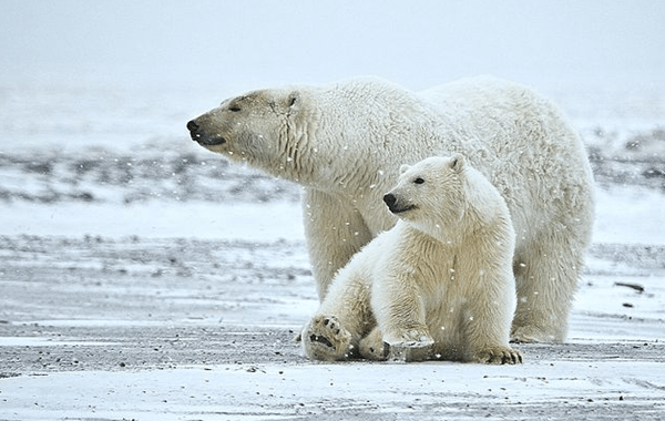 Russian scientists were in danger due to polar bears