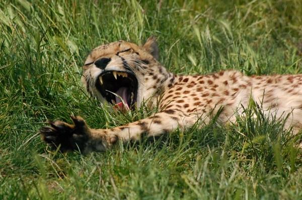 A leopard yawning
