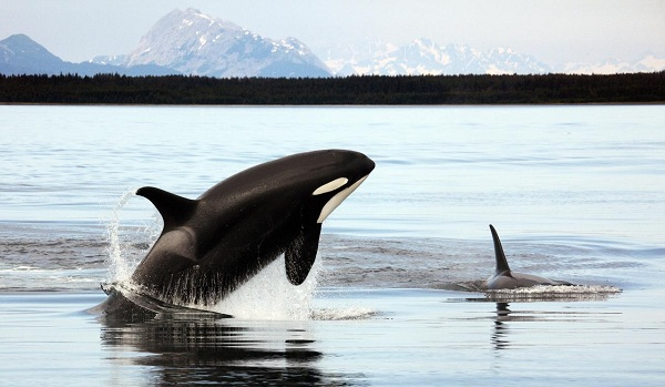 Two orcas swimming