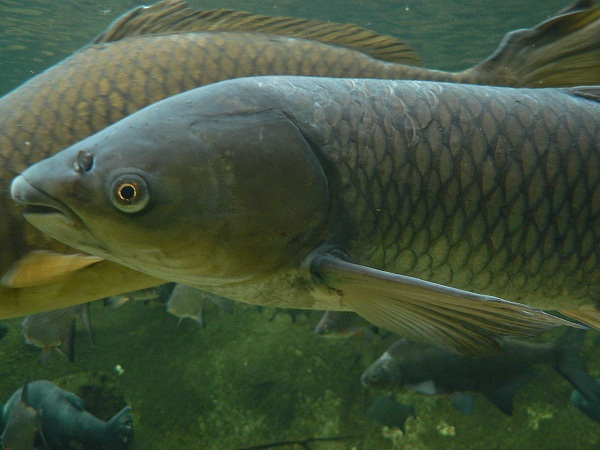 Grass carp in the water