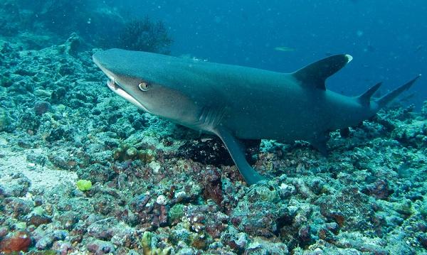 The whitetip shark