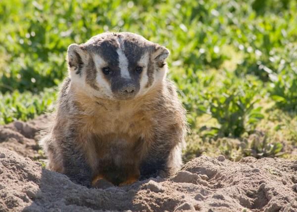 An American badger