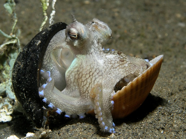 White octopus
