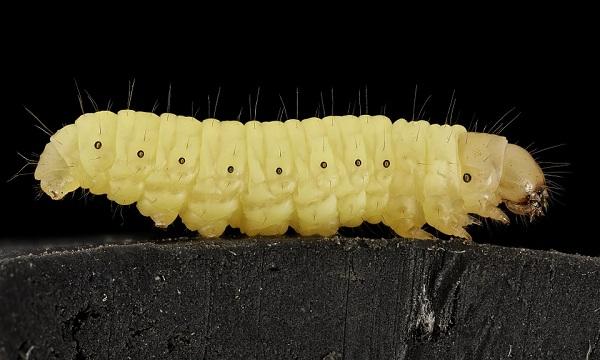 A wax worm