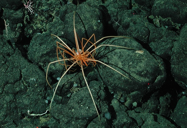 Sea spider lying on the bottom of the ocean