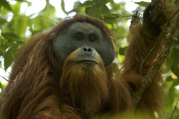 the tapanouli great ape looking towards in front of it