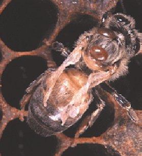Varroas