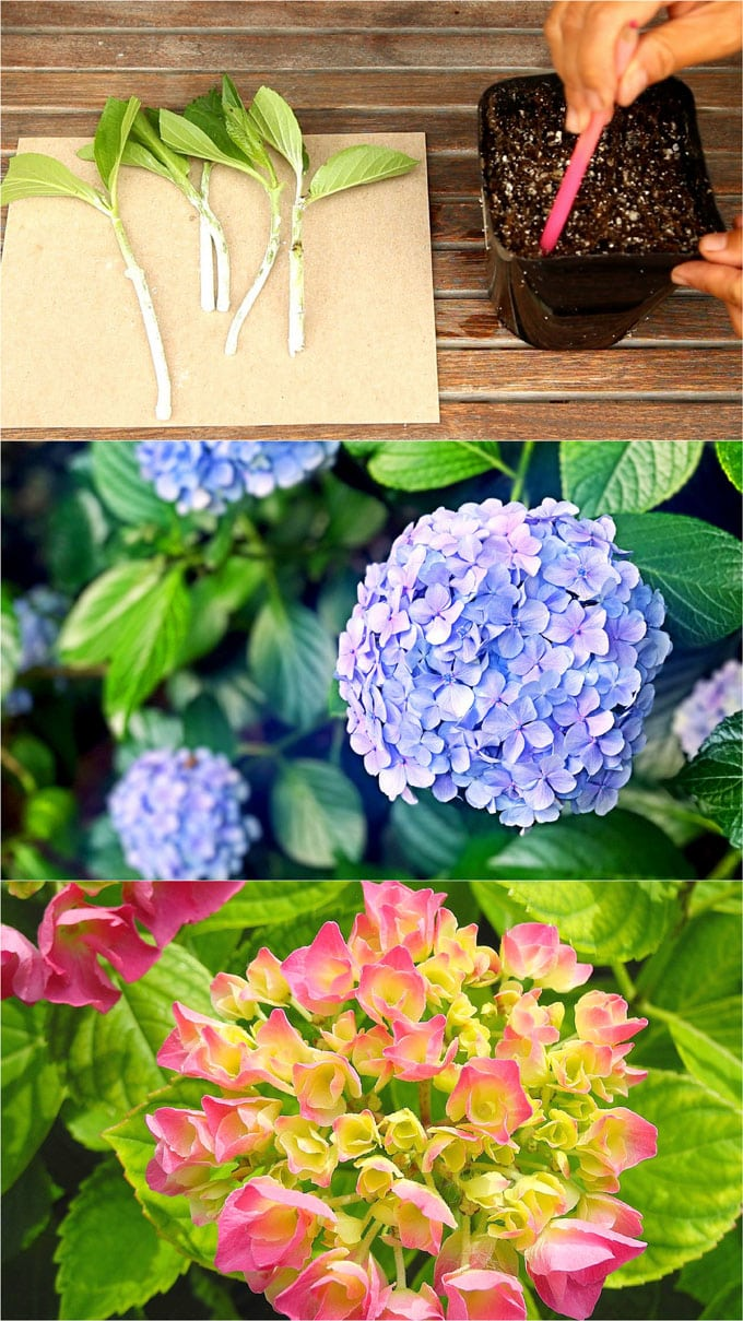 Image result for root cuttings hydrangeas