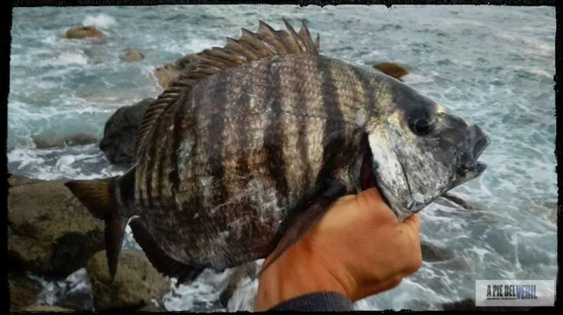 Sargos a rockfishing canarias