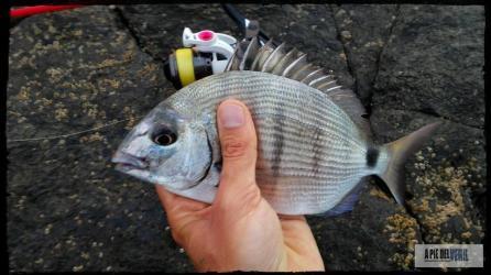 Sargo Rockfishing