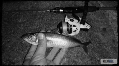 chicharro-ajing-aji-rockfishing