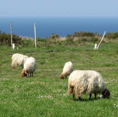 Spain. Asturias. Sheep in pasture with sea.