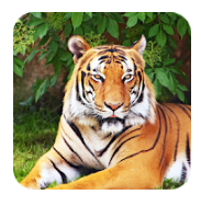tiger best wallpaper, Tiger best wallpaper No 1 Best App