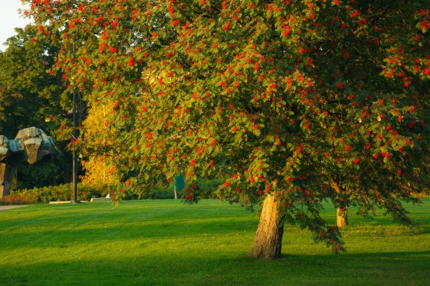 Big rowan tree and ripe berries at golden sunset light
