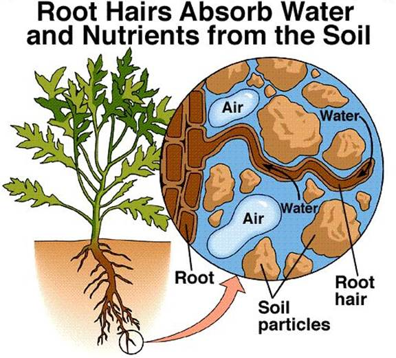 ICSE Solutions for Class 10 Biology - Absorption by Roots