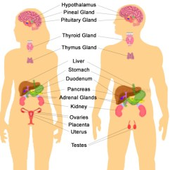 Endocrine System Diagram 2001 Nissan Pathfinder Speaker Wiring Icse Solutions For Class 10 Biology The A Plus Topper